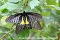 Pa Southern Birdwing 03 October 2007 F courtship (1489039103).jpg