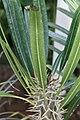 Pachypodium lamerei 7zz.jpg