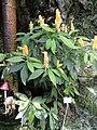 Pachystachys lutea - Botanischer Garten München-Nymphenburg - DSC08076.JPG