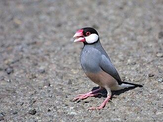 Java sparrow - Adult in Hawaii
