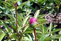 Paeonia lactiflora Bowl of Beauty 0zz.jpg
