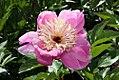 Paeonia lactiflora Doreen 0zz.jpg