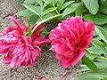 Paeonia officinalis officinalis0.jpg