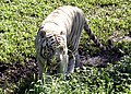 Pana'ewa Rainforest Zoo--Namaste the White Tiger 10 (4472394852).jpg