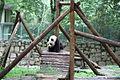 Panda from shanghai zoo.JPG