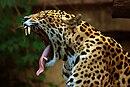 Panthera onca at the Toronto Zoo 2.jpg