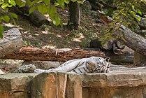 Panthera tigris (Tigre blanc) - 391.jpg