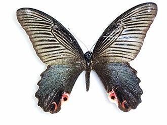 Papilio protenor - Female