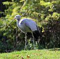 Paradieskranich Anthropoides paradisea Tierpark Hellabrunn-11.jpg
