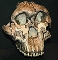 Paranthropus boisei fossil hominid (Koobi Fora Formation, Lower Pleistocene, 1.75 Ma; Olduvai Gorge, western Arusha Region, northern Tanzania, eastern Africa) 3 (15440774116).jpg