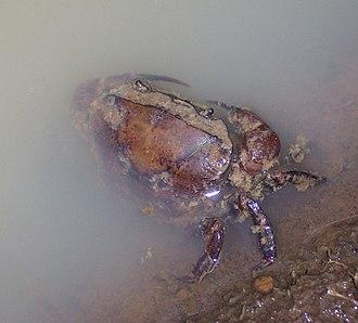 Freshwater crab - Parathelphusa convexa (Parathelphusidae) in Indonesia