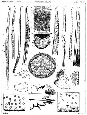 Parborlasia corrugatus - Anatomy of Parborlasia corrugatus (fig. 17 and 18 only)