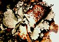 Parmotrema hypotropum-5.jpg