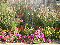 Parterre de fleurs à Tesson.jpg