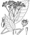 Parthenium integrifolium-linedrawing.png