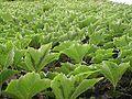 Parthenocissus tricuspidata.jpg
