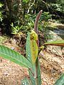 Parymenopus davisoni (8051015308).jpg