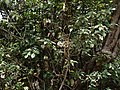 Pavetta crassicaulis (17331251632).jpg
