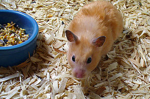 Dwarf Hamster Living In Room Temperature Not Moving