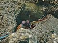 Peacock Mantis Shrimp (6997591371).jpg