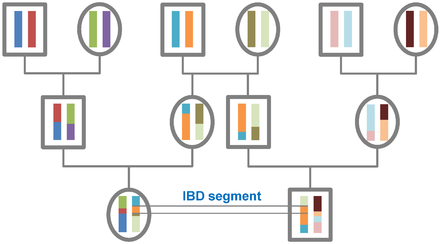 The origin of IBD segments is depicted via a pedigree.