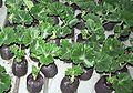 Pelargonium zonale rooted cutting 2005-12-15.jpg