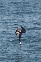 Pelican diving 4969.jpg