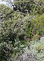 Peninsula fynbos camphor trees and aloes - Silvermine mountains.JPG