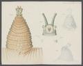 Peripatus capensis - - Print - Iconographia Zoologica - Special Collections University of Amsterdam - UBAINV0274 103 01 0002A.tif