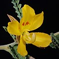 Petalostylis cassioides - Flickr - Kevin Thiele.jpg