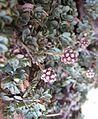 Petrophyton caespitosum (mat rock spiraea) - Flickr - brewbooks (3).jpg