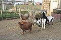 Petting zoo at Camping Zeeburg, Amsterdam (26186439582).jpg