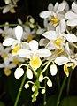Phalaenopsis equestris f. aurea Orchi 185.jpg