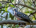 Phaps chalcoptera -Brisbane, Queensland, Australia -male-8.jpg