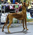 Pharaoh Hound in Riga 3.JPG