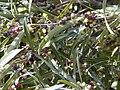 Phillyrea angustifolia.jpg