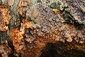 Phlebia radiata 54151491.jpg