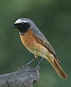 Phoenicurus phoenicurus male(js) (cropped).jpg