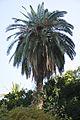 Phoenix canariensis Canary Island Date Palm ფინიკის პალმა.JPG