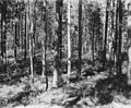 Photograph of 80 Year Mixed Stand of Jack Pine and Red Pine - NARA - 2129519.jpg