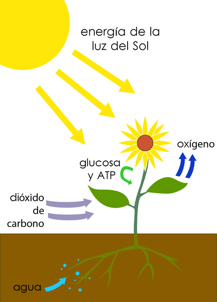 File:Photosynthesis-es.png