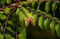 Phyllanthus acidus leaves JEG9371.jpg