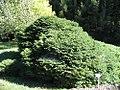 Picea abies Nidiformis 0zz.jpg