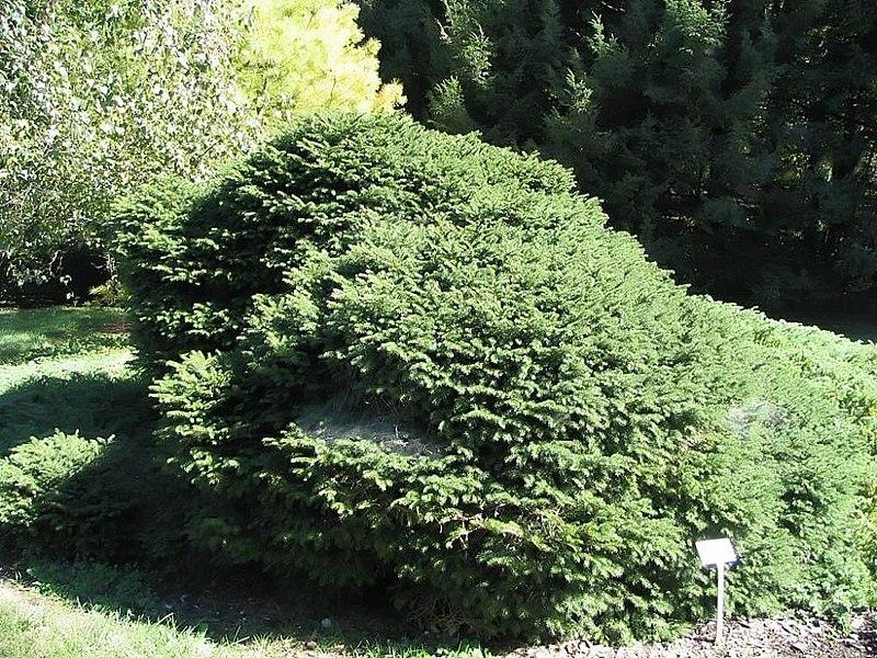 File:Picea abies Nidiformis 0zz.jpg