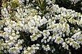 Pieris japonica var. yakushimanum Cavatine 0zz.jpg