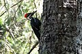 Pileated Woodpecker Five Brooks Marin CA 2019-03-13 12-40-28 (48265862347).jpg