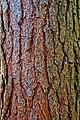 Pine bark - Flickr - Stiller Beobachter.jpg
