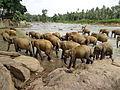 Pinnawala Elephant Orphanage 82.JPG
