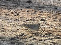 Pintail snipe-from kattampally wetland - 2.jpg