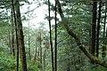 Pinus armandii forest Cangshan.jpg